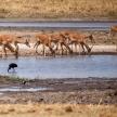 Impala - Okavango Delta, Africa