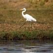 Great Egret - Chobe River, Botswana, Africa