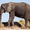 Elephant - Chobe River, Botswana, Africa