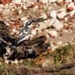 Pied Kingfisher - Chobe River, Botswana, Africa