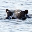 Hippo Swimming - Chobe River, Botswana, Africa