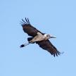Maribou Stork - Chobe N.P. Botswana, Africa