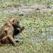 Baboon in Chobe N.P. Botswana, Africa