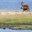 Croc - Chobe River, Botswana, Africa