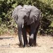 Elephant - Chobe N.P. Botswana, Africa