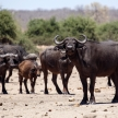 Buffalo - Chobe N.P. Botswana, Africa