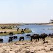 Buffalo - Chobe River, Botswana, Africa