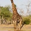 Giraffe - Chobe N.P. Botswana, Africa