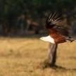 Fish Eagle - Chobe N.P. Botswana, Africa