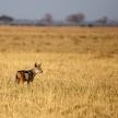 Jackal - Chobe N.P. Botswana, Africa