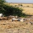 Elephant Skeleton - Chobe N.P. Botswana, Africa