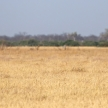 Tsessebe - Chobe N.P. Botswana, Africa