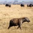Hyena - Chobe N.P. Botswana, Africa