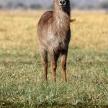 Waterbuck - Chobe N.P. Botswana, Africa