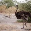Ostrich - Okavango Delta - Moremi N.P.