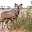 Kudu - Okavango Delta - Moremi N.P.