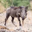Warthog - Okavango Delta - Moremi N.P.