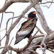 Bateleur Eagle - Okavango Delta - Moremi N.P.