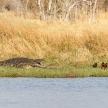 Crocodile - Okavango Delta, Africa