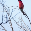 Southern Carmine Bee-eater - Okavango Delta - Moremi N.P.
