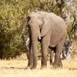 Elephant - Okavango Delta - Moremi N.P.
