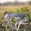 Maribou Stork - Okavango Delta - Moremi N.P.