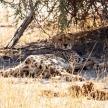 Cheetah - Okavango Delta - Moremi N.P.