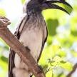 African Grey Hornbill - Okavango Delta - Moremi N.P.