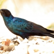 Meve's Longtailed Starling - Okavango Delta - Moremi N.P.