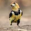 Crested Barbet - Okavango Delta - Moremi N.P.