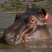 Hippo - Serengeti, Tanzania, Africa