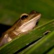 Frog - Khao Sok N.P.