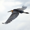 Goliath Heron - Lake Opeta - Uganda, Africa