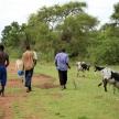 Cows - Uganda, Africa