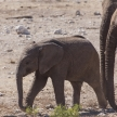 Young Elephant - Etosha Safari Park in Namibia