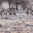 Oryx - Etosha Safari Park in Namibia
