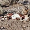 Jackal Eating Springbok - Etosha Safari Park in Namibia