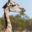 Giraffe - Etosha Safari Park in Namibia