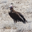 Lappet-faced Vulture - Etosha Safari Park in Namibia