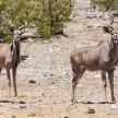 Kudu - Etosha Safari Park in Namibia