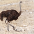 Female Ostrich - Etosha Safari Park in Namibia