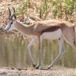 Springbok - Etosha Safari Park in Namibia