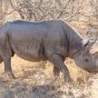 Black Rhino - Etosha Safari Park in Namibia