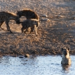Hyena at Water Hole - Etosha Safari Park in Namibia