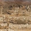 Eland - Etosha Safari Park in Namibia