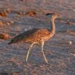 Kori Bustard - Etosha Safari Park in Namibia