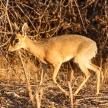 Dik Dik - Etosha Safari Park in Namibia
