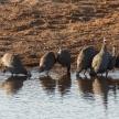 Guineafowl - Etosha Safari Park in Namibia