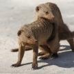 Banded Mongoose - Etosha Safari Park in Namibia