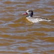 Cape Teal, Namibia